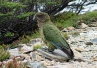 Kea, Lockett Range area, Kahurangi National Park