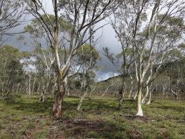 Open woodland near Hanging Mountain, Deua National Park, NSW
