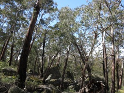 Alpine ash and granite boulders. Slopes of Mt Gudgenby, Namadgi National Park, ACT