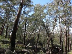 Alpine ash and granite boulders. Slopes of Mt Gudgenby, Namadgi National Park, ACT