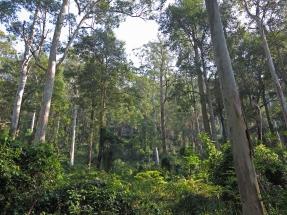 Sun dappled Eucalyptus forest, Wollemi National Park, NSW