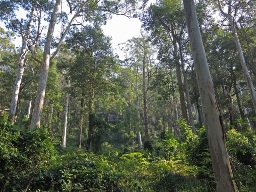Sun dappled Eucalyptus forest, Wollemi National Park, NSW